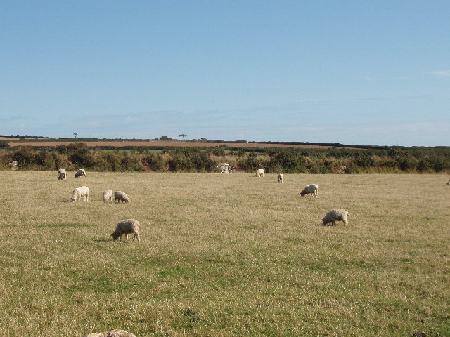 Sheep pasture at St Eval