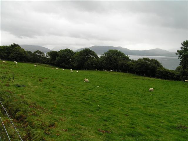 Sheep grazing - Morvern