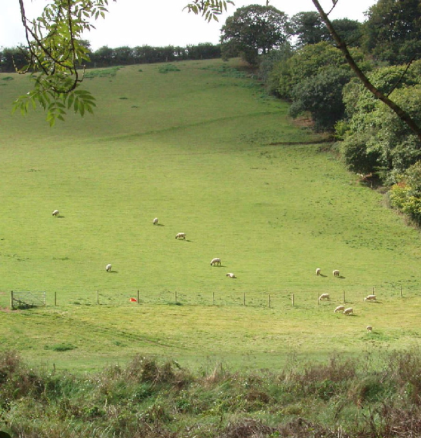 Sheep in the Camel valley, near Burlawn