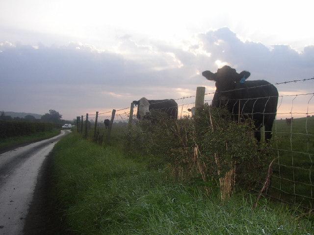 Good morning Cows!