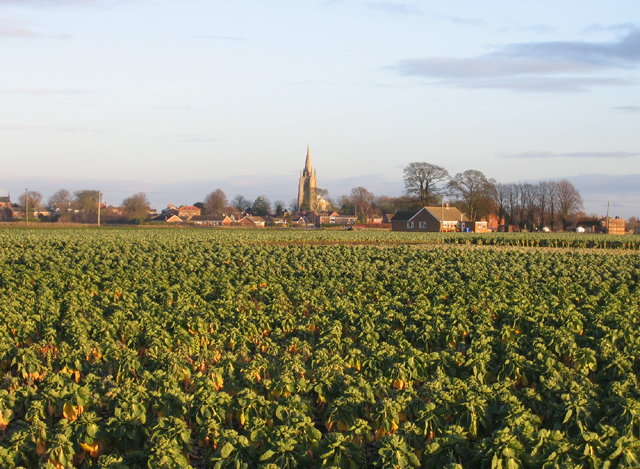 Brussels sprouts abound in Swineshead, Lincs