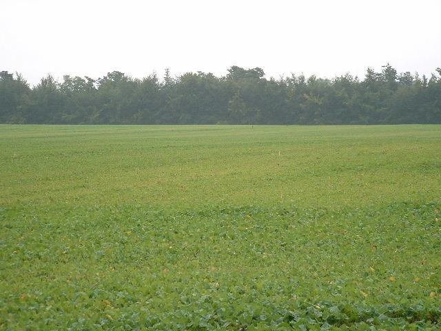 Radish Field