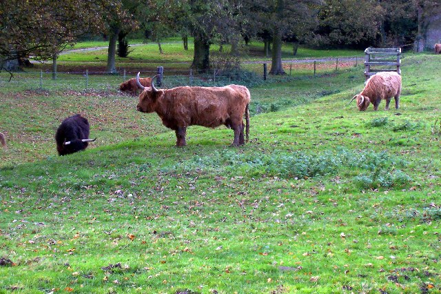 Cattle Grazing, South Ferriby