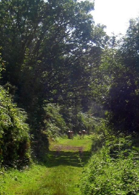 Fallow deer - Coppet Hill