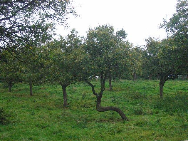 Damson orchard, Ashford Bowdler.