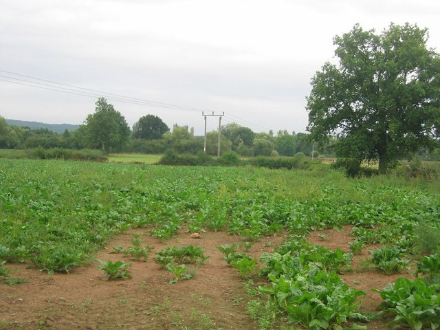 Turnip field, Comberton.