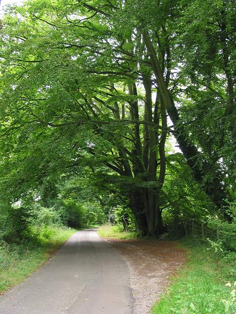 Beeches in Sailor's Lane