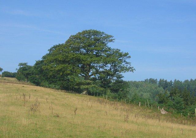 Border Oak