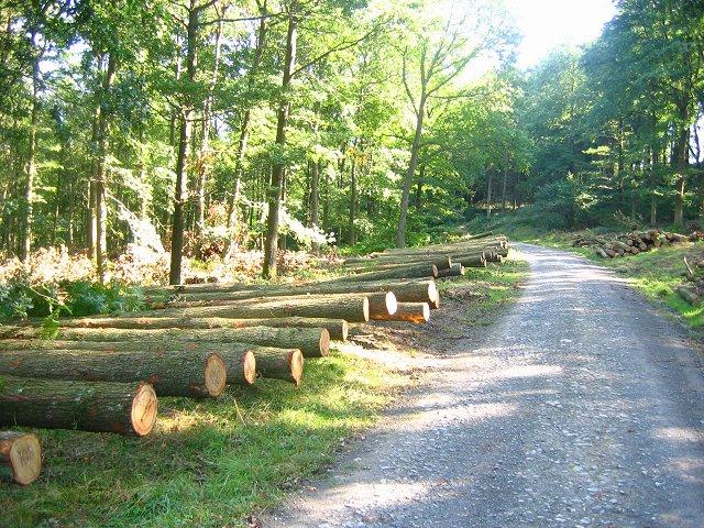 Oak logs, Sunny Gutter