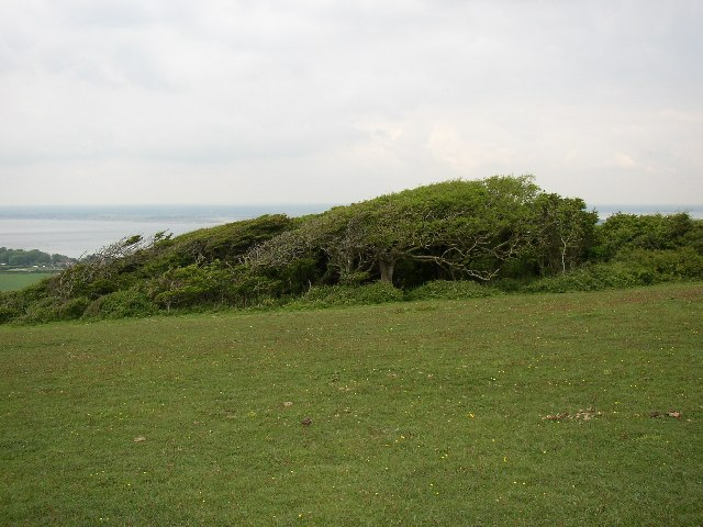 Wind-sculpted Trees, Tennyson Down, Totland