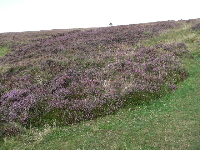 Heather on Shilstone Hill