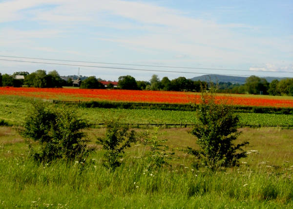 Poppies at Kilvington