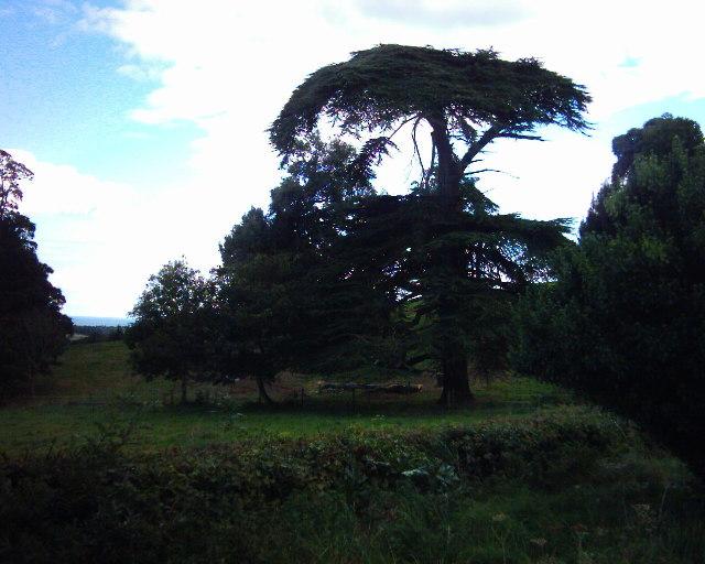 Cedar tree, park of Mamhead House