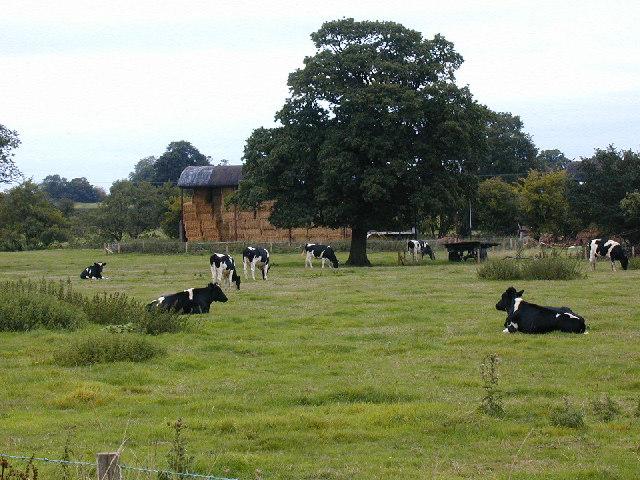 Friesian cows at Wain House Farm