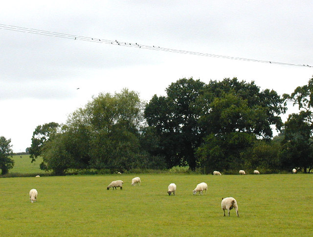 Swallows and sheep.