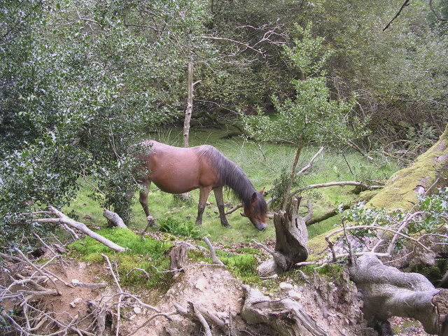 Pony grazing in Shave Wood, New Forest