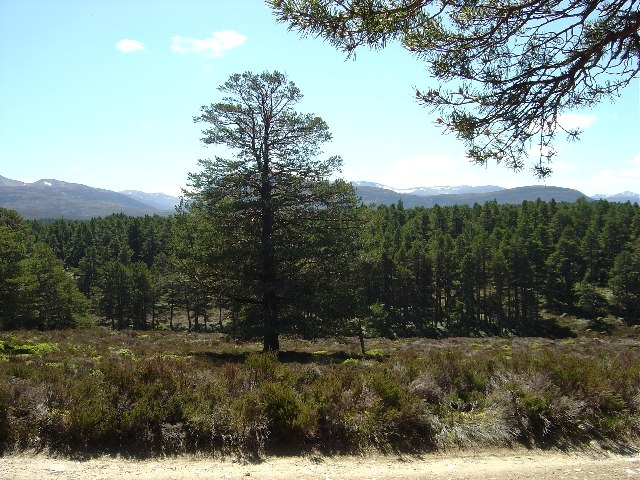 Abernethy Forest - Scots Pine