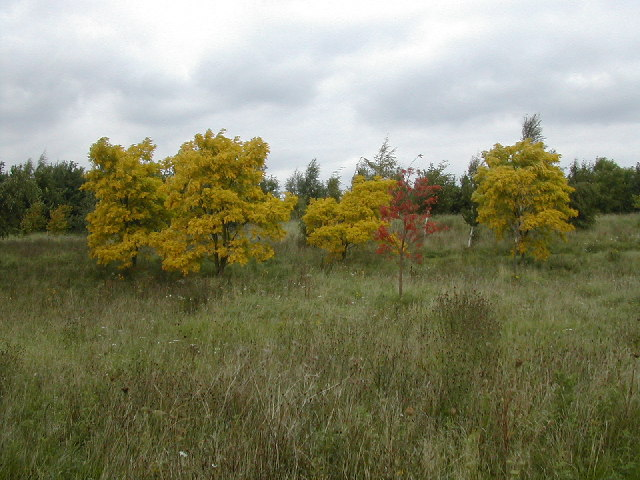Golden trees in  a brown autumn meadow