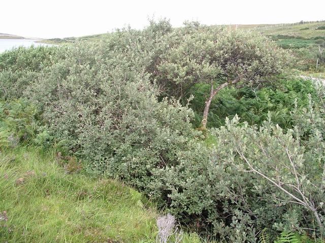 Roadside shrubs, Loch Raa