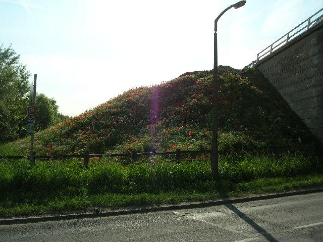 Poppies & Daisies on M62 Bridge Embankment