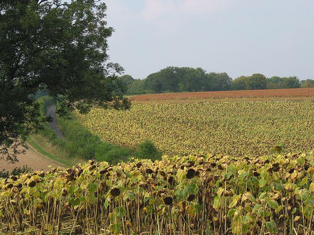 Sunflowers in Peak Lane, Upham