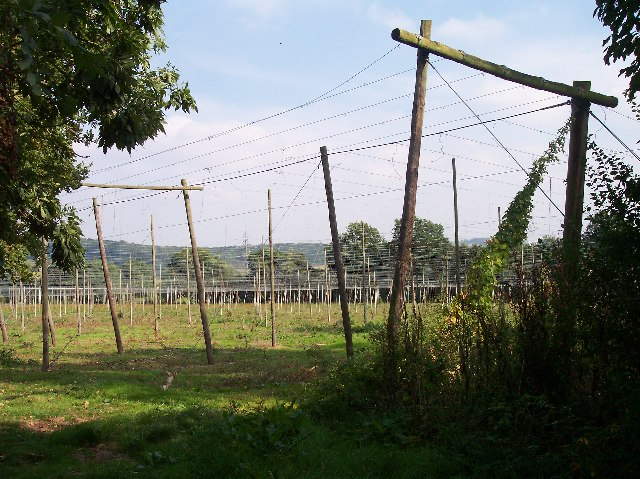 Hop Fields near Suckley Court