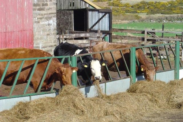 Cattle at Backburn Farm