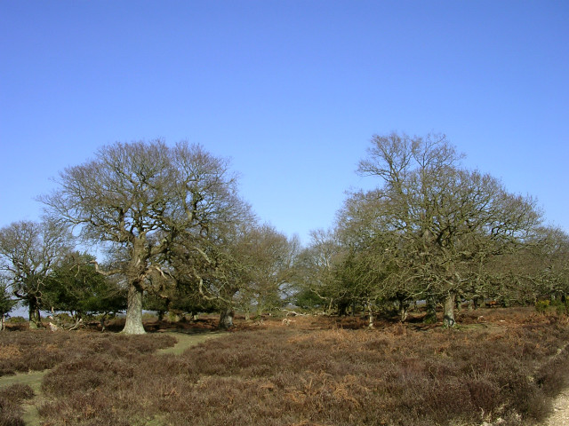 Oak trees at Ashley Cross, New Forest