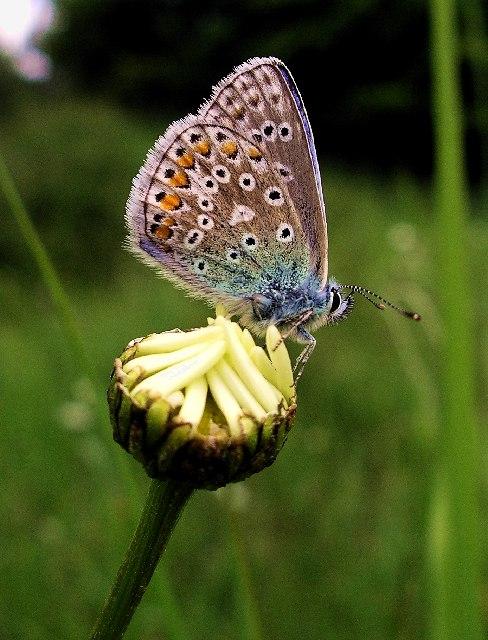 Common Blue (Polyommatus icarus) male, underside.