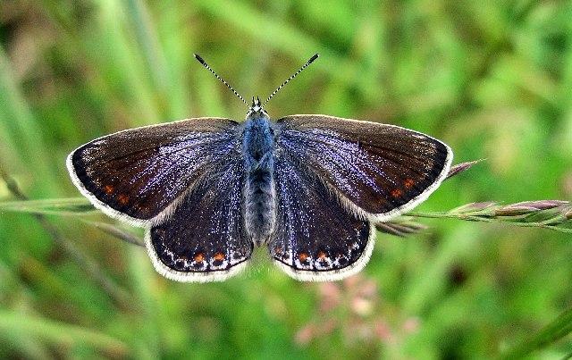 Common Blue (Polyommatus icarus), female.