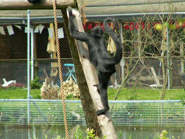 Spider Monkey at The Curraghs Wildlife Park, Ballaugh