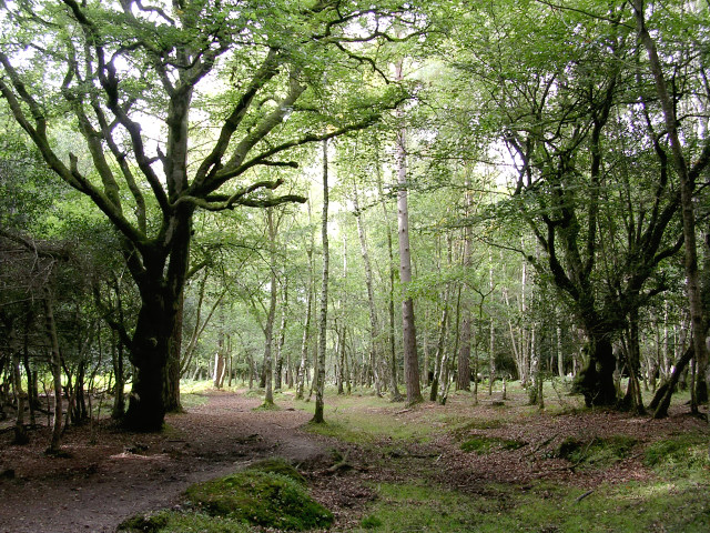 Woodland between Wood Crates and Broom Hill, New Forest