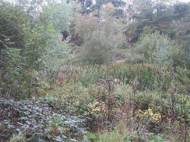 Bullrushes in Broad Dingle