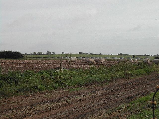 Free Range Pig Farm