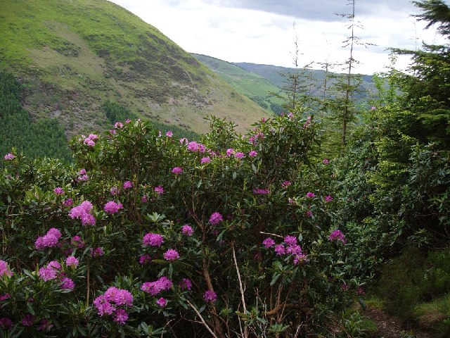 Rhododendron in front of Foel Benddin