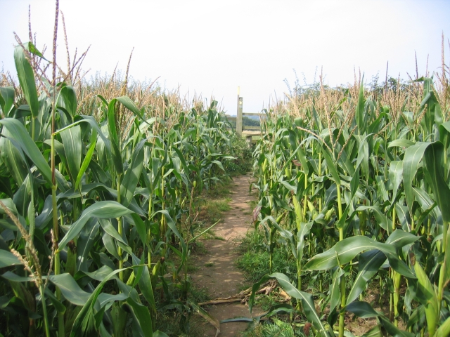 Footpath through the maize