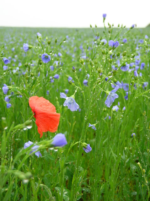 Poppies & blue flowers