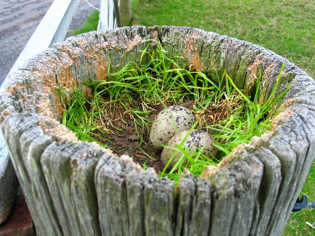 Oyster Catchers nest top of gate post by Tayinloan.
