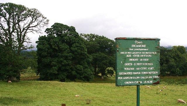 Sycamore tree, Drumlanrig Castle grounds.