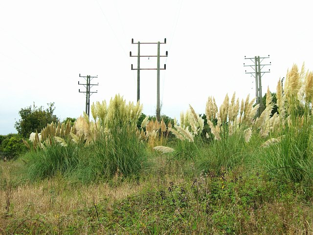Pampas Grass under the powerlines