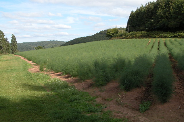 Field of Asparagus