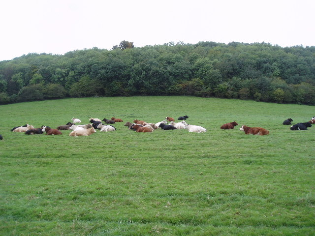 Mixed dairy herd at Marden Hillboxes Farm, Surrey