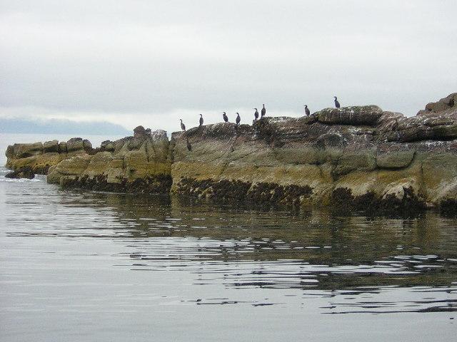 Shags on Sron na Caillich, Longa Island