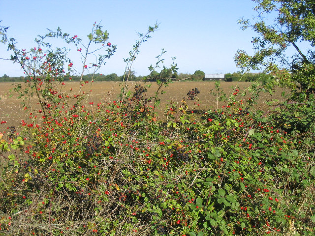 Autumnal Hedgerow, near Peartree Green, Essex