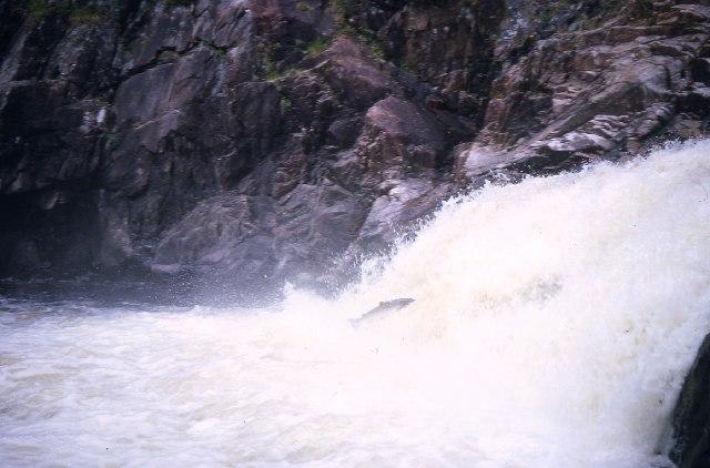 Salmon leap at Shin Falls