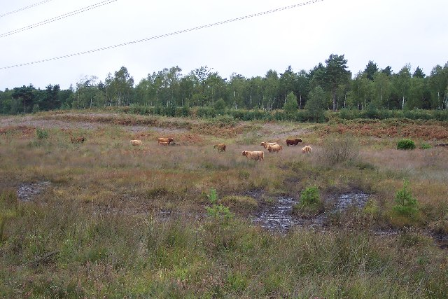 Highland cattle on Folly Bog