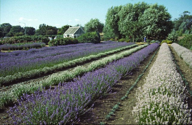 Lavender Fields at Norfolk Lavender, Heacham, Norfolk