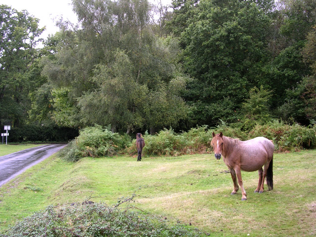 Ponies grazing in the rain, Bramble Hill, New Forest