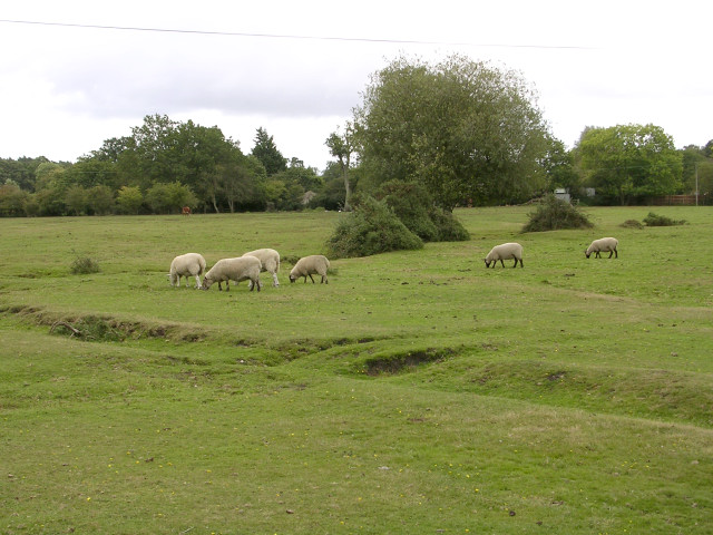 Sheep grazing on Penn Common