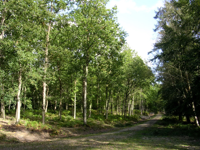 Beeches in the Bramshaw Inclosure, New Forest